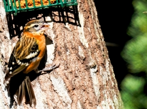 BLACK-HEADED GROSBEAK © TOM STANMORE