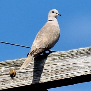 EURASIAN COLORED DOVE © MICHAEL BROWER