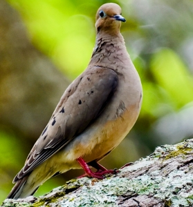 MOURNING DOVE © MICHAEL BROWER