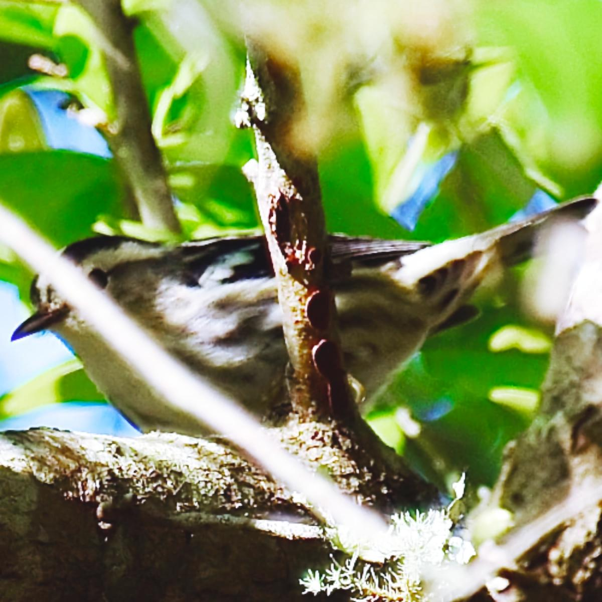 BLACK & WHITE WARBLER © MICHAEL BROWER