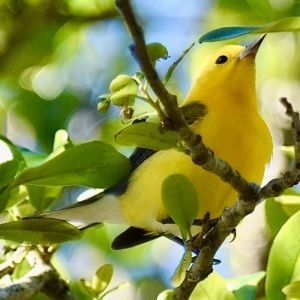 PROTHONOTARY WARBLER © MICHAEL BROWER