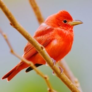 SUMMER TANAGER © MICHAEL BROWER
